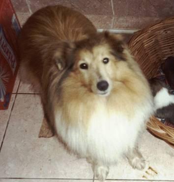 Dog Ready For Adoption Shetland Sheepdog Sheltie Pekingese Mixed | Dog ...
